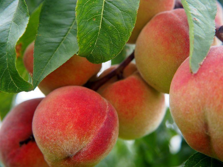 peach tree care, pruning peach trees