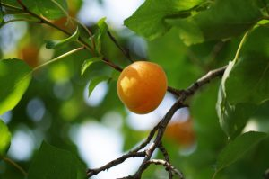 apricot tree, apricot trees for sale, dwarf apricot tree, growing apricots, growing apricot trees, apricot tree for sale near me, apricot tree varieties, apricot sale