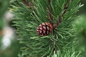 pine trees, pine tree, pine trees for sale, fast growing pine trees, types of pine trees, pine tree meaning, pine tree symbolism, pine tree pictures, pine tree leaves, what is a pine tree, a pine tree, pine plant
