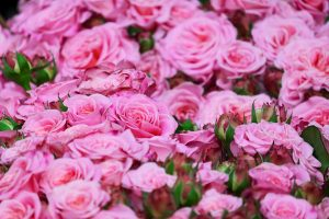 kinds of roses
