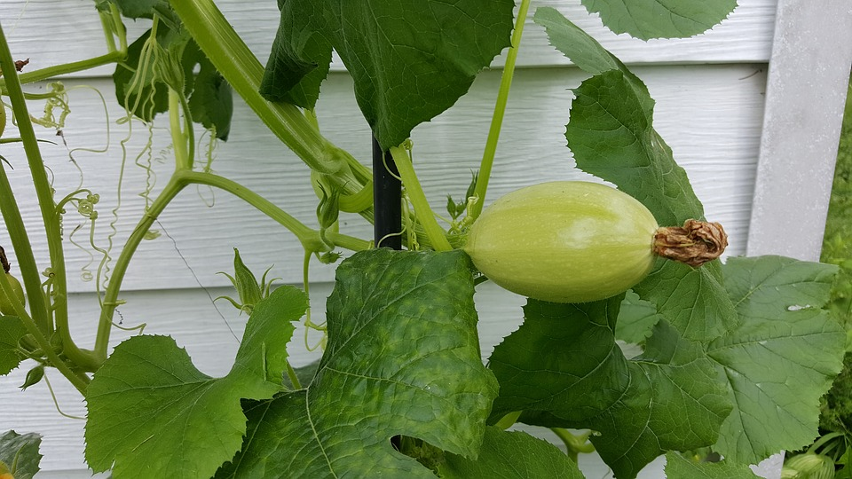 Growing Spaghetti Squash Plant How To Grow When