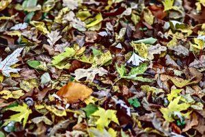 leaf litter, leaf litter habitat, leaf litter community, plant litter definition, litter soil definition, litter science definition, litter layer of soil, litter layer, tree litter, leaf debris, surface litter, plant litter decomposition, plant litter, ground litter, plant detritus, duff soil, leaf litter in deciduous forest ecosystem, plant debris, define leaf litter, duff layer, forest duff, soil litter, leaves, should you remove leaves from flower beds, leaf litter biodiversity, leaf litter meaning