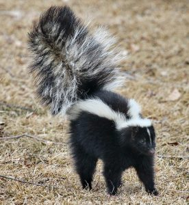 skunk smell, stink, dog