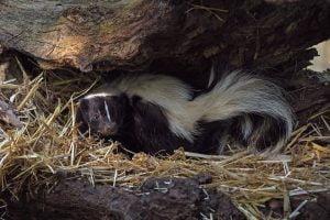 skunk smell, stink, dog