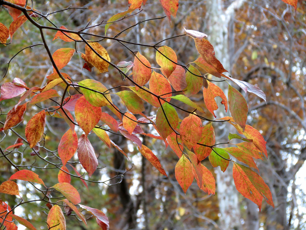 trees with red leaves, fall color trees, yellow leaf trees, autumn trees, maple trees in fall, best trees for fall color, trees that turn red in fall, trees that change color, orange leaf tree, trees in fall, trees in the fall, trees with yellow leaves in fall, colorful trees, red fall leaves, tree in fall, red trees names, trees with red leaves in fall, trees with red leaves all year, trees in autumn, trees that turn yellow in fall, fall maple leaf, maple tree colors, what trees turn red in fall, red trees in fall, beautiful fall trees, trees with colorful leaves, pretty trees in fall, maple tree with orange leaves, most beautiful fall trees, autumn trees and leaves, trees with beautiful fall color, trees that have red leaves all year, tree with white leaves in fall, trees that have red leaves in fall, golden leaf tree species, trees that are red all year, yellow foliage trees, what kind of trees change color in t he fall, trees that leaves turn yellow in fall, trees with bright red leaves in fall , tree color, trees with red leaves year round, a tree in fall, best autumn trees, colorful trees to plant, bright colored trees, orange autumn leaves, red tree types, best fall trees, orange colored trees, oak tree in fall, what maple tree has yellow leaves in the fall, tree foliage, what tree has red leaves, what color do maple trees turn in the fall, pretty leaves, fall leaves tree, what color do maple leaves turn in the fall, tree in the fall, orange fall leaves, trees with red leaves all summer, colors of autumn, fall blooming trees, yellow maple tree, yellow maple leaves in fall, tree with orange leaves in spring, trees in autumn season, colorful autumn trees, which tree changes colors of its leaves, trees with red leaves in summer, colorful shade trees, red foliage trees, bright red trees, yellow fall leaves, orange leaf maple tree, colorful tree types, first trees to change color in fall, small trees that turn red in fall, what trees have leaves that turn red in the fall, trees that leaves change color, purple fall leaves, tree with small yellow leaves in fall, sugar maple fall color, purple leaf maple, best maple trees, orange maple tree, trees with bright fall colors, autumn tree leaves, purple fall foliage, trees with orange fall color, what trees have red leaves, maple tree that turns bright red in fall, red and orange leaves, names of trees with red leaves, what trees have yellow leaves in the fall, leaves in fall, red fall leaf, trees changing colors, fall flowering trees, orange foliage, birch trees in fall, pictures of fall trees, big autumn tree, fall trees images, colourful trees, river birch fall color, bright yellow tree, leaves that turn yellow in fall, autumn yellow, colorful fall foliage, season tree beauty, beautiful colorful trees, purple autumn, colorful autumn, yellow trees images, fall leaf types, birch tree fall color, pretty fall pictures, good trees to plant in fall, autumn leaves pictures, yellow tree name, red autumn trees, autumn leaves name, types of fall leaves, colorful leaves, most colorful fall trees, trees with yellow fall color, fall foliage trees, red colored trees, trees that change colour in autumn, tree with pink flowers in fall, best trees to plant in fall, what trees change color in the fall, autumn tree display, trees in fall season, trees that turn orange in fall, beautiful autumn trees, redbud tree in fall, eastern redbud fall color, redbud in fall, yellow leaf bush, shrubs that turn red in fall, bushes that turn red in fall, fall color plants, eastern redbud tree in fall, fall shrubs, what color is a redbud tree, fall color shrubs, tree with yellow branches, tree colour, shrubs that change color in fall, bright fall pictures, pretty trees, small trees to plant in fall, forest pansy redbud fall color, bushes that turn red in autumn, bright red fall shrub, maple tree fall leaf color, bare fall tree, red bushes in fall, fall color landscaping, tree with white leaves in spring, tree with orange fruit in fall, tree with bright red berries in fall, a fall tree, color tree, tree with bright red flowers, trees with burgundy leaves, bush red leaves in fall, orange colored tree logo, maple tree fall colors, ash tree in fall, oak tree fall color, linden tree fall color, pecan tree fall color
