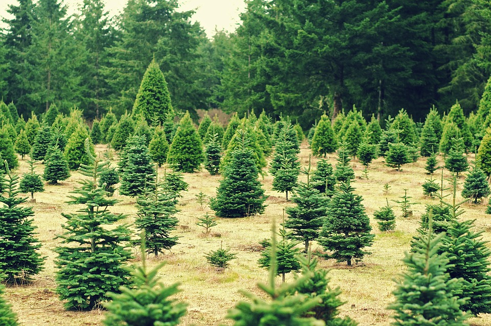 cut your own Christmas tree, tree cutting, cut down Christmas tree, cut down your own Christmas tree, cut your own tree, cut your own Christmas tree near me, Christmas tree farms in Wisconsin, cut your own Christmas tree Wisconsin, cut your own Christmas tree farm near me, Christmas trees near me, cut down your own Christmas tree near me, real Christmas trees near me, cut down Christmas tree near me, cut your own tree Wisconsin, where to cut your own Christmas tree, places to cut down Christmas trees near me, tree farms near Appleton WI, Christmas tree lots near me, cut my own Christmas tree, cut your own tree near me, tree farm Appleton WI, where can i cut down a Christmas tree near me, cut down own Christmas tree, Christmas trees Oshkosh WI, cut your own Christmas tree kenosha wi, cut your own christmas tree waukesha wi, where to get a christmas tree near me, Christmas tree places near me, christmas tree cut your own near me, southern Wisconsin Christmas tree farms, cut your own Christmas tree northeast Wisconsin, cut your own christmas tree me, cut your own christmas tree lots, christmas trees close to me, real xmas trees near me, choose and cut christmas tree farms, cut your own christmas tree farm, christmas tree farms in northeast wisconsin, cut down your own tree near me, cut your own christmas tree southeastern wisconsin, christmas tree farms near me, Christmas tree farms in virginia, Christmas tree farm richmond va, cut your own Christmas tree virginia, u cut Christmas trees near me, Christmas tree cutting near me, cut your own Christmas tree Richmond VA, tree farms in Virginia, u cut Christmas tree farms near me, Virginia Christmas tree, christmas tree farms in nc, cut your own Christmas tree NC, choose and cut christmas tree farms in nc, choose and cut tree farms nc, best Christmas tree farms in nc, places to cut down Christmas trees in north Carolina, nc cut your own Christmas tree farms, pick your own Christmas tree near me, tree farms in nc, north carolina christmas tree farms map, cut your own tree nc, christmas tree farm mn, cut your own christmas tree mn, christmas trees mn, tree farms mn cut your own, cut your own tree farm, you cut christmas trees near me, where to cut christmas trees near me, Meyer tree farm Princeton MN, Christmas tree farm cormorant MN, Hampton tree farm MN, Christmas tree farms in Rochester MN, cut own Christmas tree, Jan Christmas tree farm MN, Christmas tree farm twin cities, you cut Christmas trees, real Christmas trees for sale, real Christmas trees prices, pre cut Christmas trees, how much does a Christmas tree cost, pick your own Christmas tree, cut your own Christmas tree Los Angeles, Christmas tree farm Los Angeles, Christmas tree Los Angeles, cut your own Christmas tree NJ, Christmas tree farm nj, tree farms in NJ, places to cut down Christmas trees in nj