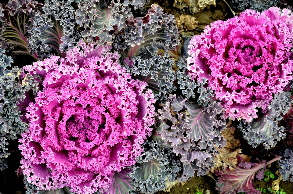 flowering kale, ornamental kale, white ornamental kale, flowering kale plant, decorative kale, ornamental kale plants, blooming kale, how to grow flowering kale, is decorative kale edible, flowering kale nutrition, decorative kale plants, ornamental kale flowers, when to plant ornamental kale, flowering kale edible, cabbage flower, ornamental cabbage, ornamental cabbage home depot, cabbage flower plant, ornamental cabbage plants, decorative cabbage, plant that looks like cabbage, decorative cabbage plants, purple kale plant, can you eat ornamental kale, is ornamental kale edible, ornamental kale edible, fall ornamental cabbage plants, purple cabbage plant, flowers that look like cabbage, ornamental cabbage care, is ornamental cabbage a perennial, cabbage flower season, flowering cabbage care, decorative cabbage edible, where can i buy ornamental cabbage plants, buy ornamental cabbage, does ornamental cabbage grow back, buy ornamental cabbage plants, information flowering cabbage plants, decorative cabbage and kale plants, winter ornamental cabbage, ornamental kale can you eat it, images of ornamental cabbage, cabbage type flower, plant kale flowers, ornamental kale care, winter cabbage flower, when to plant ornamental cabbage, is purple kale edible, is flowering kale a perennial, ornamental kale bouquet, ornamental cabbage plants for sale, artificial kale and cabbage, can you eat ornamental cabbage, ornamental cabbage flowers, why is my cabbage flowering, cabbage looking plant, purple cabbage looking flower, purple cabbage flower plant, is kale edible, ornamental cabbage kale, ornamental kale plants for sale, flowering cabbage and kale, home depot cabbage plants, cabbage looking like flower, ornamental kale and cabbage, is all kale edible, cabbage is a flower, kale flower bouquet, flowering kale care, decorative kale perennial, ornamental kale annual or perennial, ornamental cauliflower, ornamental kale red, how to grow ornamental kale from seed, growing flowering kale, ornamental cabbage growing tall, growing ornamental kale from seed, peacock kale, kale emperor red, winter cabbage, flowering kale bouquet, dark purple cabbage looking plant, lettuce looking flower, fall cabbage plants, how to grow ornamental cabbage from seed, growing ornamental kale, ornamental cabbage plant care, how to grow ornamental kale, purple cabbage flower, ornamental cabbage perennial, white cabbage flower, ornamental lettuce, growing ornamental cabbage, red cabbage plant pictures, decorative lettuce, ornamental cabbage seeds, cabbage rose plant, ornamental kale seeds, purple cabbage plant photos, purple cabbage like flowers, white kale flowers, flowering cabbage pigeon purple, cabbage flower bouquet, purple kale bouquet, winter cabbage plants, what does a cabbage plant look like, cabbage seeds images, is cabbage perennial, cabbage care, where does kale come from, when to plant winter cabbage, cabbage like plants, cabbage looking flower, decorative cabbage seeds, winter cabbage seeds, oriental kale, ornamental cabbage edible, red flowering plants