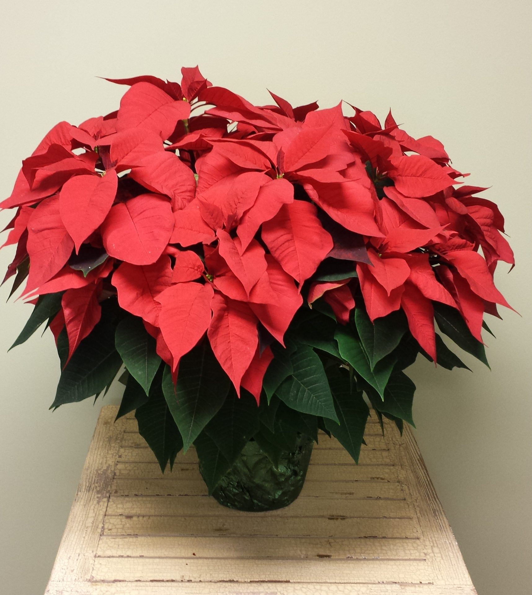 how to get a poinsettia to bloom