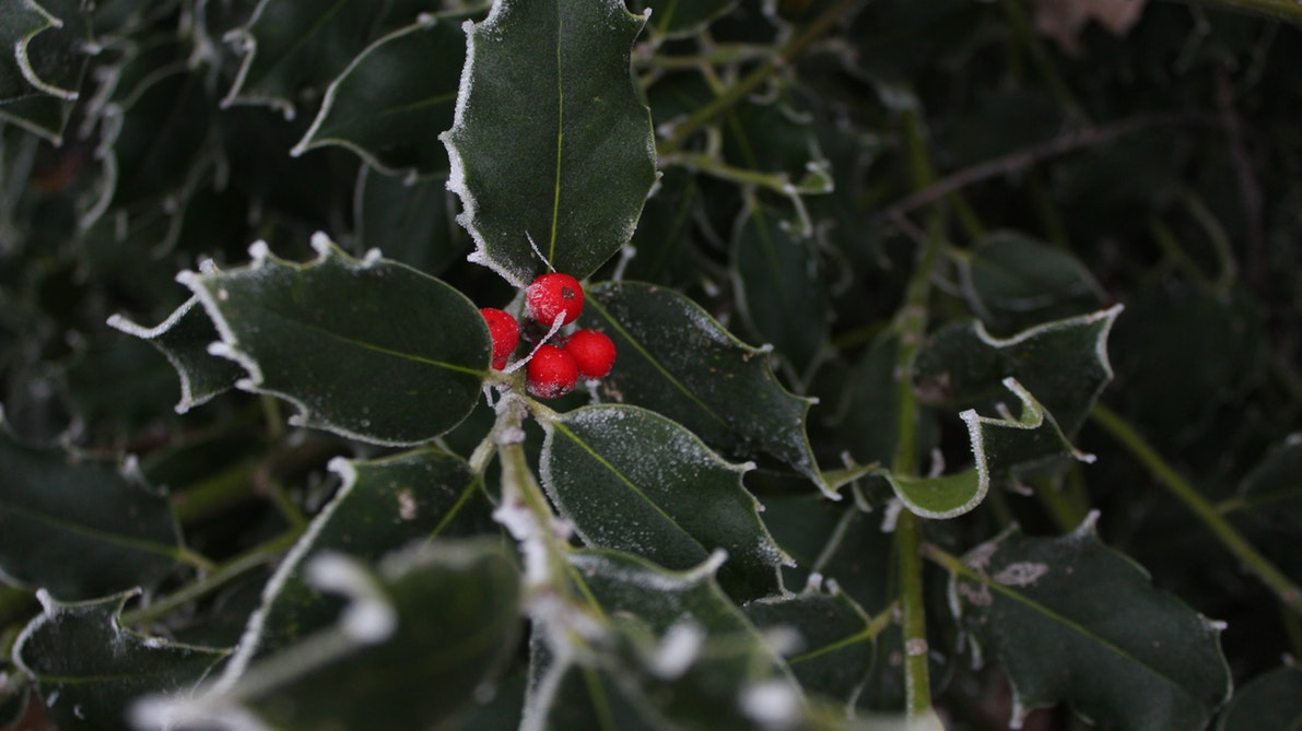 christmas holly, christmas leaves, the holly and the ivy, christmas ivy, christmas holly berry, xmas holly leaf, christmas with holly, when is christmas with holly on
