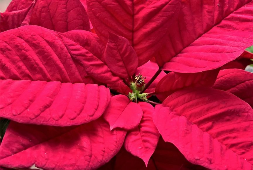 Christmas plants, holiday, flowers