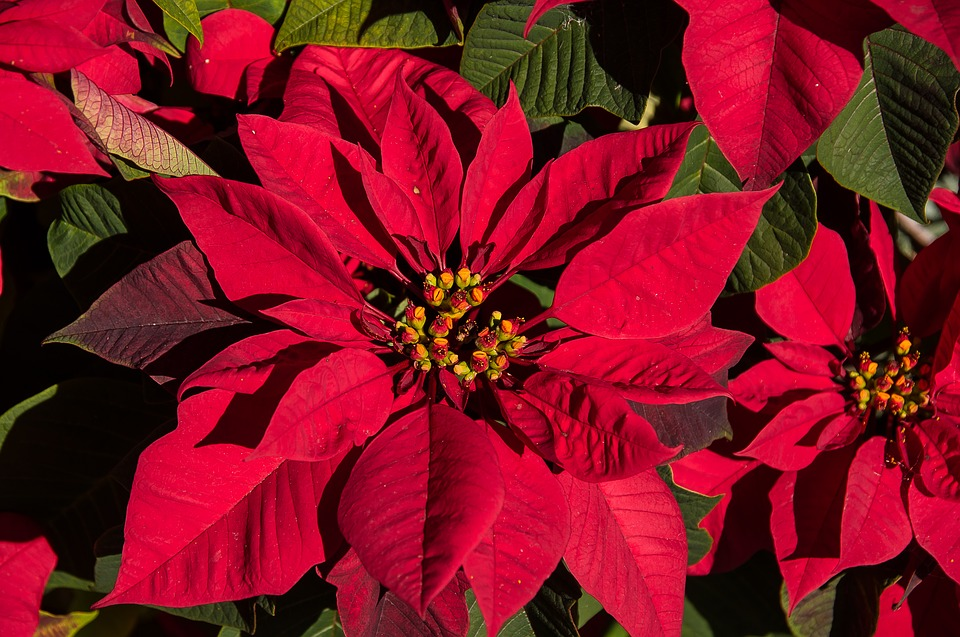 poinsettia care, poinsettia, poinsettia flower, poinsettia meaning, pink poinsettia, red christmas flower, poinsettia tree, poinsettia plant, poinsettia facts, christmas poinsettias, red poinsettia, red christmas plant, how to take care of a poinsettia, poinsettia history, christmas flowers poinsettias, what is the christmas flower