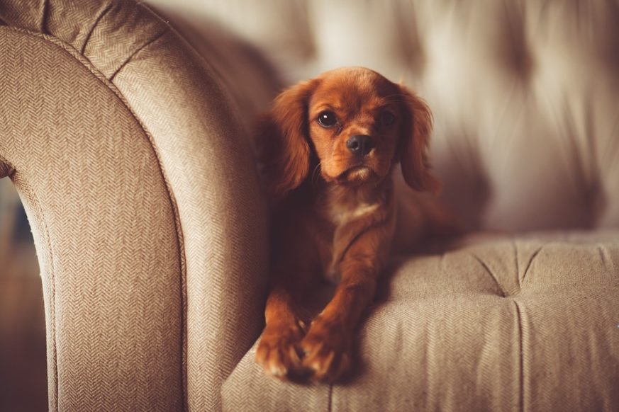 keep pets off furniture, couch, dogs