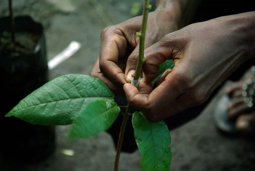 grafting plants, budding, grafting trees, types of grafting, budding in plants, plant grafting