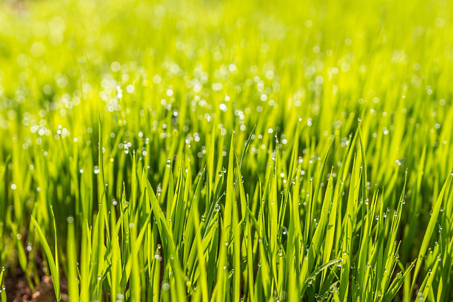 green grass with water on the tip